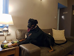 A big dog on a leather sofa