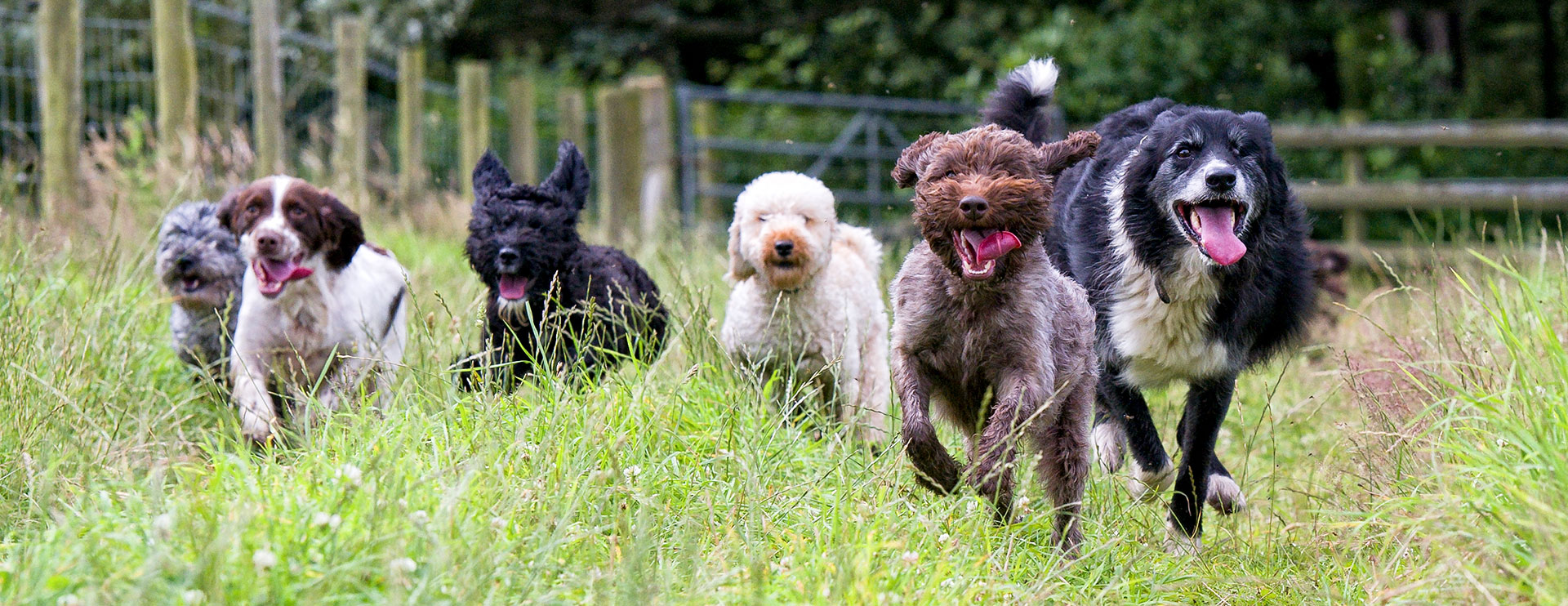 Six happy dogs running in a field