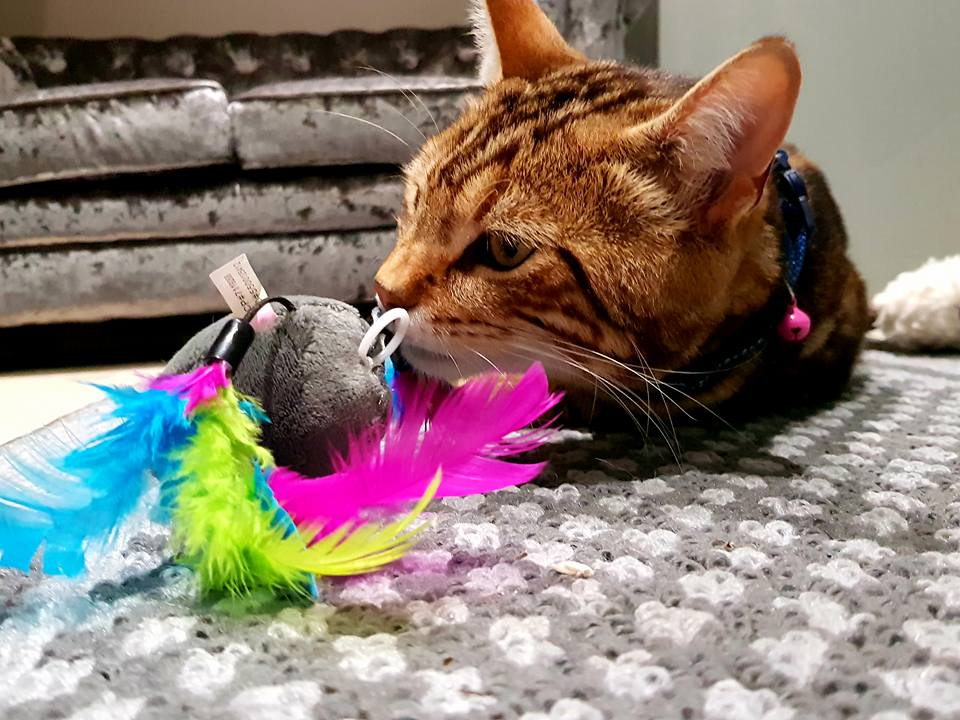 A content cat playing with a toy