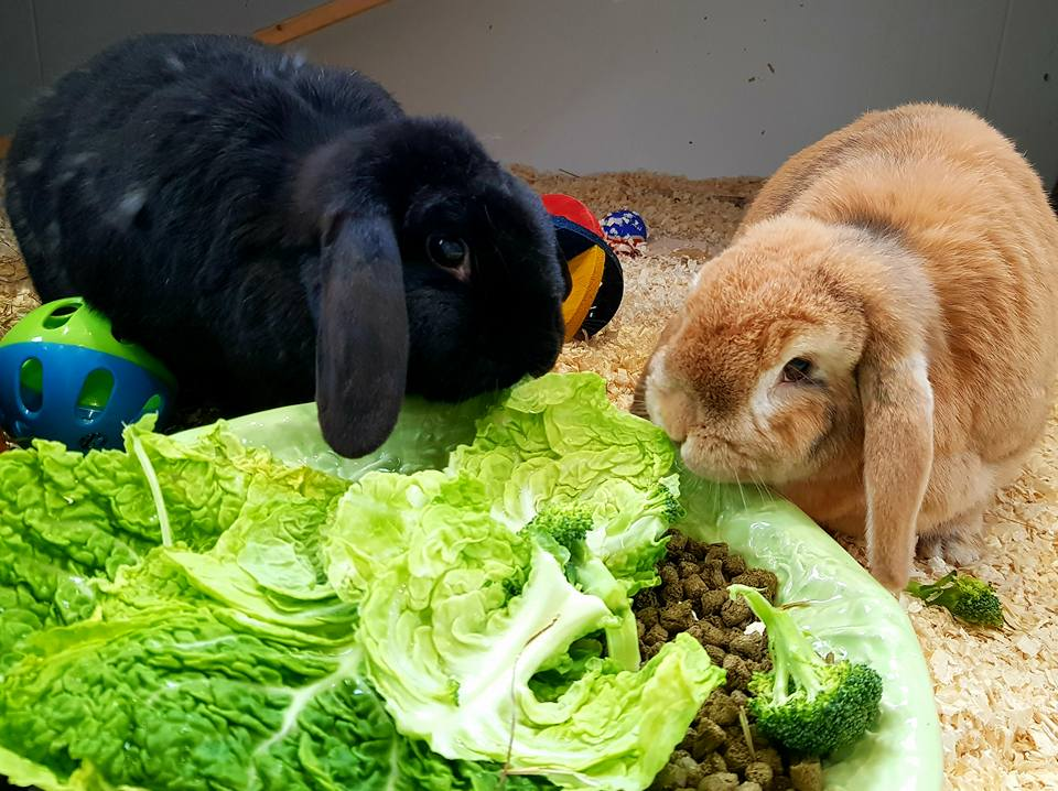 Two cute rabbits eating lettuce