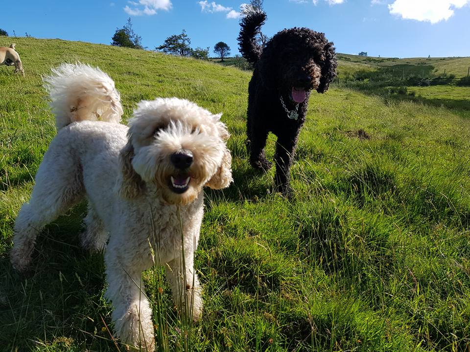 Two happy dogs in a field